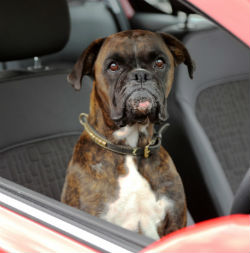 Dog in the driving seat